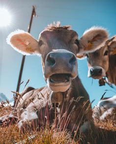 A friendly encounter #fuorclasurlej #cutestcow Cow, Photography, Animals, Photograph, Animales, Animaux, Fotografie, Photo Shoot, Animal Memes