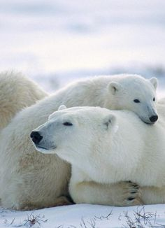 Polar bear pillow. pic.twitter.com/yVXHWz0KQG