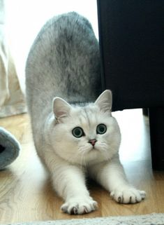 Can't wait to get my own little squish like this! British Shorthair- ADORABLE!