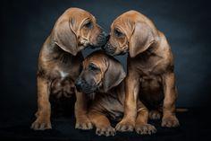 Rhodesian Ridgeback Puppies by Tina Homs on 500px