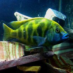 Cichlid Aquarium, Cichlid Fish, Malawi Cichlids, African Cichlids, Victoria Lake, Lake Tanganyika, 55 Gallon, Fresh Water, Animals