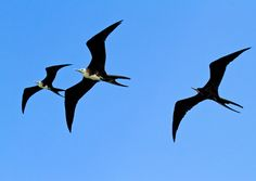 Magnificent Frigatebird Fregata magnificens - Google Search