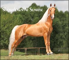 Tennessee Walking Horse - Walkers West - at Stud, SHOWDOWN AT SUNRISE #20212398