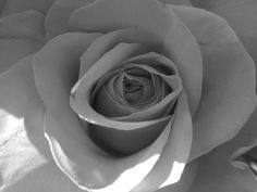 Rose in Black & White 4 by Colleen Winter My Flower, Flowers, Flower Pictures, Black And White, Rose, Winter, Plants, Winter Time, Blanco Y Negro