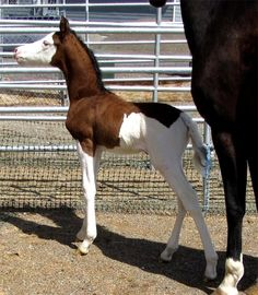"This Splash paint colt is a purebred Morgan despite what his markings might allude to, both of his registered Morgan parents are solid.  ""PJ"""