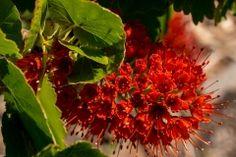 Blüte an der Flaschenbürste (Bot. Greta Sutherlandii)