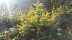 feelin' sunny cedar     #longbeach   #plants    #california   #c&rlandscape   #landscaping   #design Water Wise Landscaping, Landscaping Design, Orange County, California, Landscape, Plants, Projects, Log Projects, Blue Prints