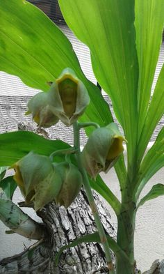 Catasentum Orchids, Plants, Plant, Planets, Orchid