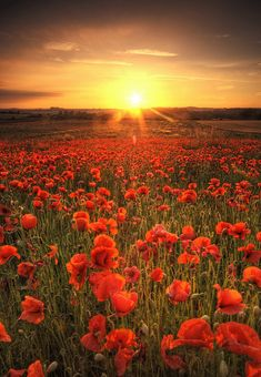 Breath-taking Poppy-flower-field in the setting Sun Beautiful Flowers, Beautiful Places, Beautiful Sunset, Wild Flowers, Poppy Flowers, Red Poppies, Field Of Poppies, Art Flowers, Orange Flowers