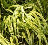 Hakonechloa macra 'Aureola' - Growing Golden Japanese Forest Grass