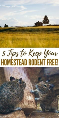 5 Tips to Keep Your Homestead Rodent Free - This is a great article on handling these pests on your own. There will be no Orkin man in a SHTF pest control will be your responsibility. The best advice I can give you on pest control is to mind their access to food, water and harborage you will keep them at bay for the most part. #controlpestsingarden