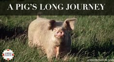 A Pig's Long Journey - Suzanne Woods Fisher