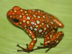 Binomial name Oophaga histrionica Funny Frogs, Cute Frogs, Amazing Frog, Poison Dart Frogs, Green Frog, Frog And Toad, Reptiles And Amphibians, Vertebrates, Beautiful Creatures