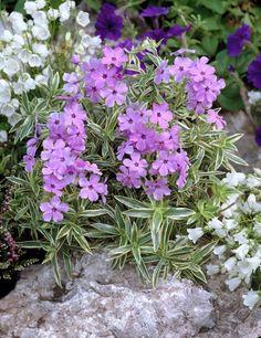 Kriechender Phlox 'Variegata' • Phlox x procumbens 'Variegata' • Kriechende Flammenblume 'Variegata' • Pflanzen & Blumen • 99Roots.com