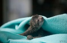 A baby three-toed sloth just born via c-section explores its environment in a vet's office in Playa Herradura, Costa Rica on Oct. 5, 2014. Its mother had been brought to the KSTR wildlife rescue clinic after falling from a tree and photographer Sam Trull accompanied her to the vet to document the infant's delivery.