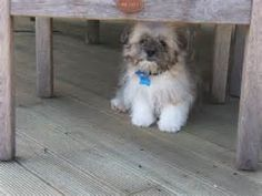 peekapoo - Yahoo Image Search Results Peek A Poo, Westies, Yahoo Images, Pet Dogs, Dog Breeds, Image Search, Horses, City, Animals