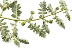 Tribulus - What Should You Know About It?