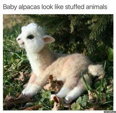 Baby alpaca!!!!!!!!!!!!!!!!!!!!!!!