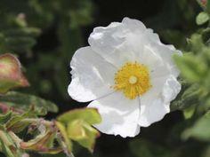 Cistus salviifolius - Sage Leaf Rock Rose
