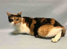 ATLANTIC - A1103198 - - Brooklyn  ***TO BE DESTROYED 02/11/17***Atlantic is a beautiful ten year old lady who would love nothing more than to settle down with the perfect family! Relaxing and enjoying her golden years are Atlantic's hopes and dreams, and this lovely girl is on her way there. She would be happiest in an experienced kitty home that understands she needs a little time to explore and warm up at her own pace. Atlantic currently has a URI….Came in with Pa