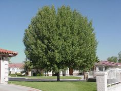 Arizona Ash Tree Drought Tolerant Trees, Ash Tree, Park Landscape, Shade Trees, House Front, Curb Appeal, Sidewalk, Xeriscaping, Shades