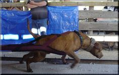 "pitbull weight pulling"" Posted by Blythe Bakker"