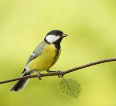 Parus Major by Tord Andre Oen on 500px
