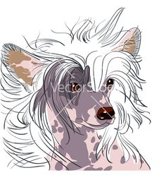 Google Image Result for http://www.vectorstock.com/i/composite/45,96/chinese-crested-dog-vector-574596.jpg