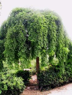 Sophora japonica Pendula - love the form and texture, prefer the weeping form not to touch the ground Small Trees For Garden, Trees For Front Yard, Garden Trees, Landscaping Plants, Front Yard Landscaping, Sophora Japonica Pendula, Architectural Plants, Chlorophytum, Fotografia Macro