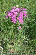 PHLOX PILOSA | Prairie Phlox Native Wildflower Seeds