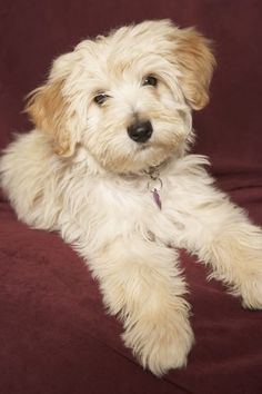 When Does A Havanese Stop Growing Family Friendly Dogs Friendly Dog Breeds Havanese Dogs