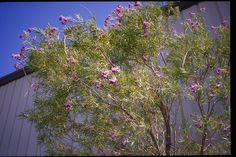 SmartScape Plant Details - Desert Willow