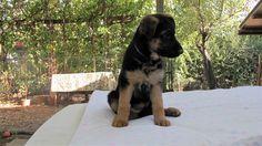 Macerata: CUCCIOLI DI PASTORE TEDESCO: #vendita #cuccioli #pastoretedesco #macerata Vai all'annuncio: