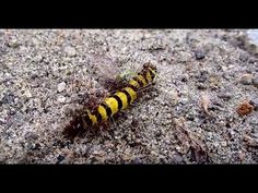 Ants going to hunt | Caterpillar attacked by Ants - https://www.youtube.com/channel/UCpsOnKmju_3D2HWGWi9Gejg