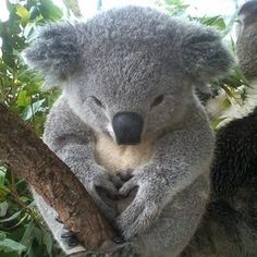 And this guy, feeling the love. | The 29 Cutest Koalas That Ever Roamed The Earth