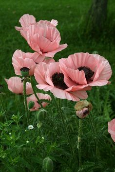 Pink poppies were added to the path that leads to our backyard...