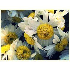 """#garden #mum #aster #flower #plant #nature #yellow #hibiscus #petals #tropical #hawaii #trumpet #Chicago #botanic #funnel #shape #gumdrops #macro"" Photo taken by @akaaki157 on Instagram, pinned via the InstaPin iOS App! http://www.instapinapp.com (10/29/2015)"