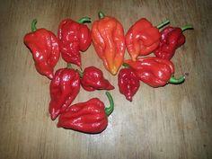 Trinidad scorpion. Hot hot hot.