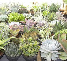 Succulents #CostaSS12