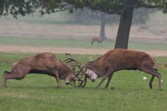 Google Image Result for http://pumapac.org/wp-content/uploads/2012/10/Red_Deer_Stags_Fighting_small.jpg