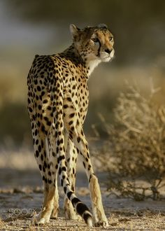 Cheetah Looking Back Animals Beautiful, Cute Animals, Big Cat Family, Serval Cats, Caracal, Cheetah Face, Animal Movement, The Lion Sleeps Tonight, Cat Reference