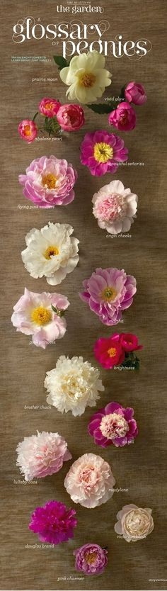 Glossary of Peonies from Martha Stewart Living digital issue.