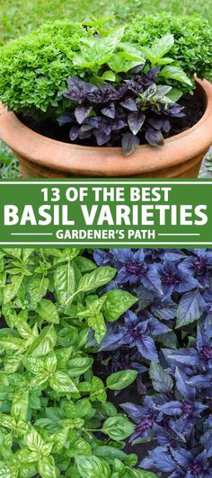 Tasty and fragrant, basil is a delicious annual herb that's easy to cultivate. Learn about 13 of the best basil varieties now on Gardener's Path. Hydroponic Gardening, Organic Gardening, Gardening Tips, Indoor Gardening, Vegetable Gardening, Growing Vegetables At Home, Growing Herbs, Growing Tomatoes, Easy Herbs To Grow
