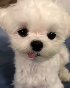 That blep is so stinkin cute - Cutest Baby Animals Baby Animals Super Cute, Cute Baby Dogs, Cute Funny Dogs, Cute Dogs And Puppies, Cute Little Animals, Cute Funny Animals, Cute Cats, Cute Babies, Shitzu Puppies