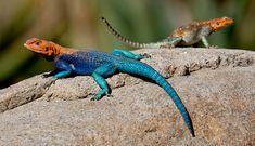 Lizards - Google Search