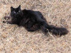 Chantilly Tiffany Cat (USA)---Looks exactly like my cat Fluff-Butt.
