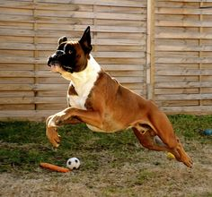 Boxer dog Gibson, by Alexkidato, via Flickr