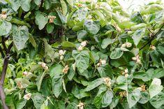 Proprietăţile medicale ale ceaiului din frunze de gutui. Diabetul zaharat, tuse şi astm…