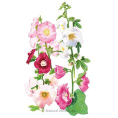 Botanical Interests High Quality Seeds and Garden Products Flower Bed Borders, Bog Plants, Hollyhock, Seed Packets, Container Gardening, Flower Gardening, Botanical Drawings, Garden Care, Edible Flowers