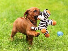 Rhodesian Ridgeback Puppy with his Cuddly Zebra Toy